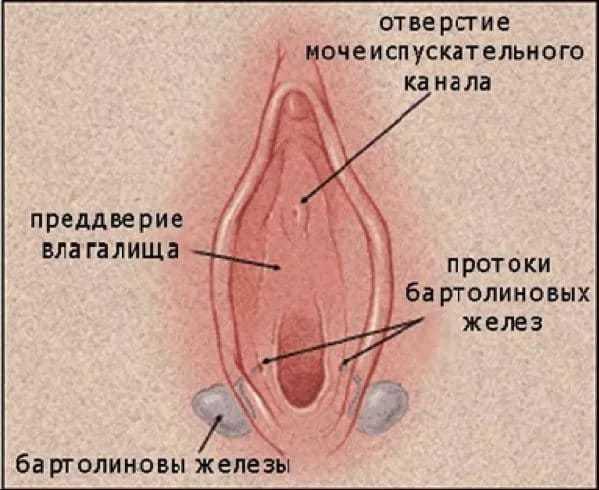 бартолиновые железы