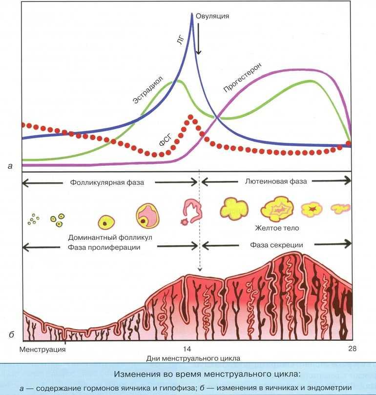 Менструальный цикл сколько дней