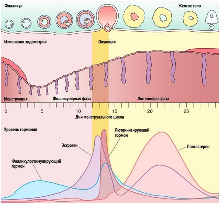Описание менструального цикла
