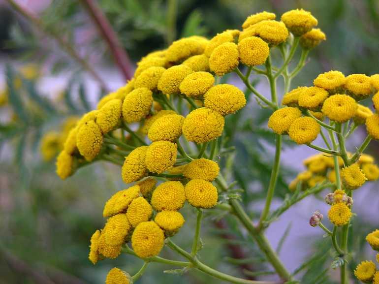 Растение пижма