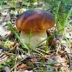 Белый гриб