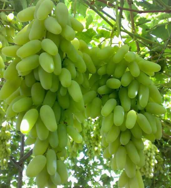 гроздья жёлто-зелёного винограда