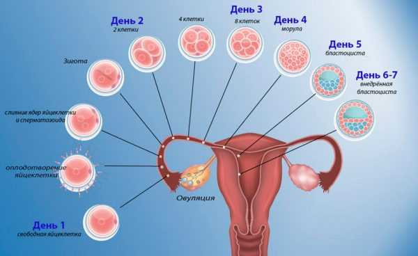 Естественный процесс оплодотворения яйцеклетки