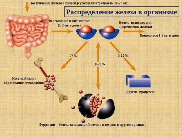 Схема распределения железа в организме, которое поступает с пищей