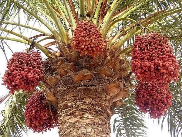 Финики на дереве