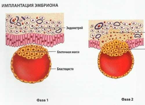 Имплантация эмбриона в эндометрий