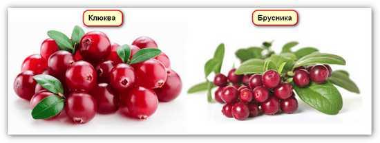 изображение ягод клюквы и брусники