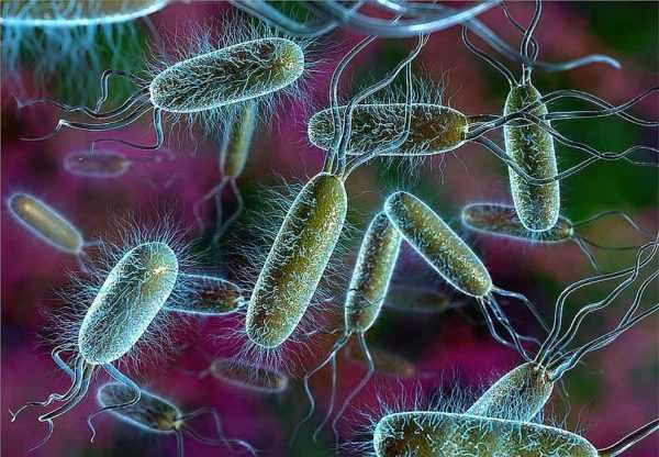 кишечная палочка под микроскопом