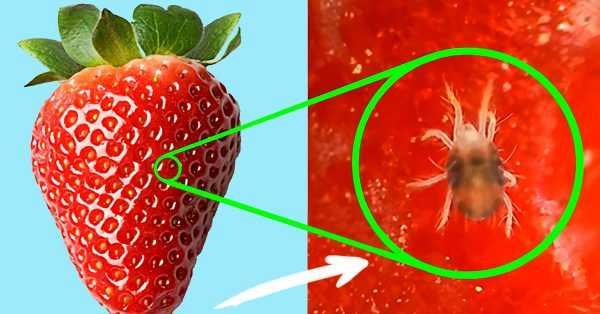 клещ, забившийся в пору ягоды клубники