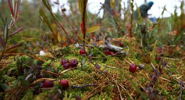 ягоды клюквы среди мха на болоте