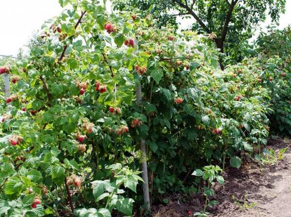 Кусты садовой малины