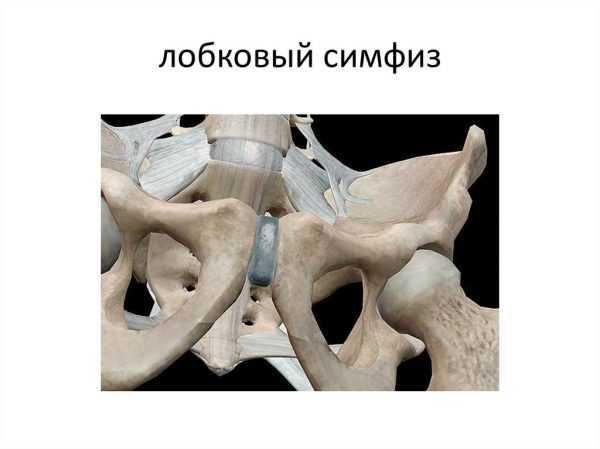 лобковый симфиз
