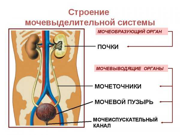 схематическое изображение мочевыделительной системы человека