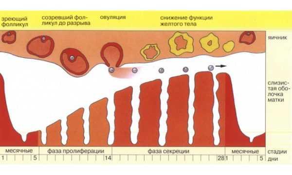 Схема овуляции