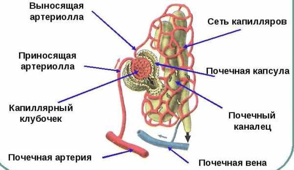 Кровоснабжение нефрона