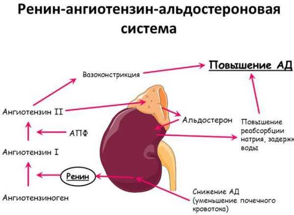 Ренин-ангиотензин-альдостероновая система или РААС