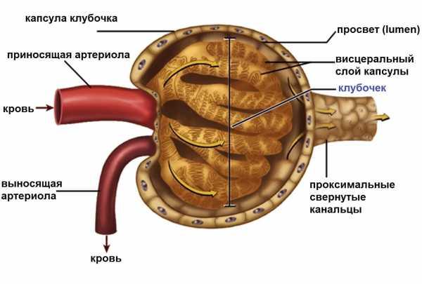 Строение почечного тельца