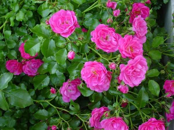 Дикая роза цветёт