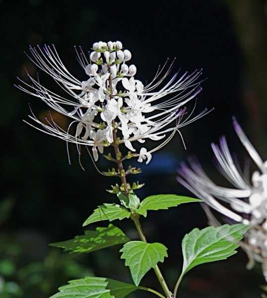 Цветок ортосифона тычиночного