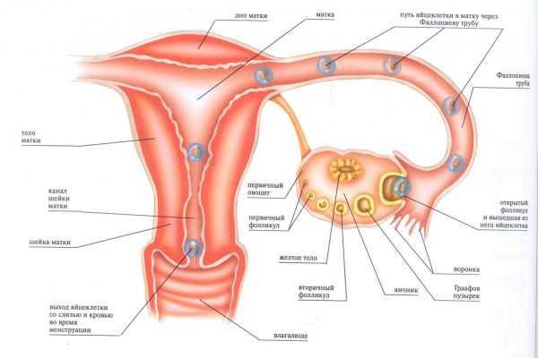 Схема женского цикла и овуляции