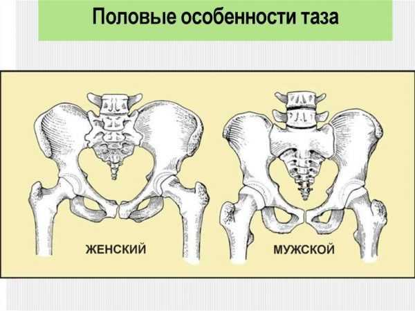 Строение женского и мужского таза