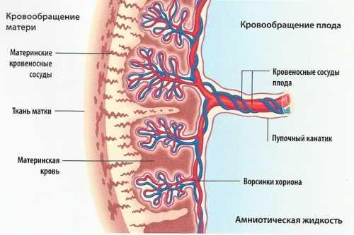 Схема строения плаценты с надписями