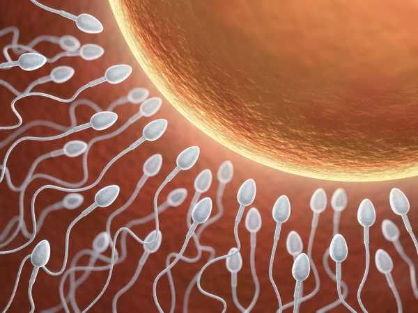 Сперматозоиды около яйцеклетки