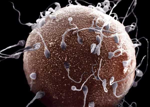 Сперматозоиды внедряются в яйцеклетку