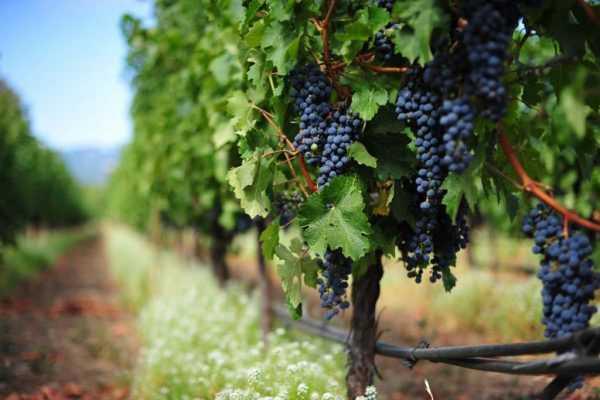 виноградная лоза с чёрными ягодами